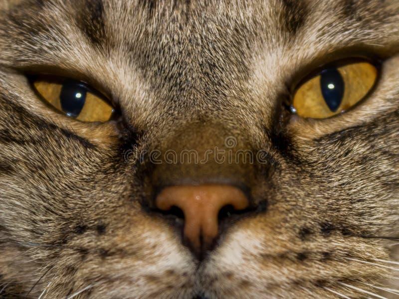 Il ritratto del ritratto di grigio-Brown grasso-osservato lanuginoso sveglio ha soddisfatto il gatto fotografia stock libera da diritti