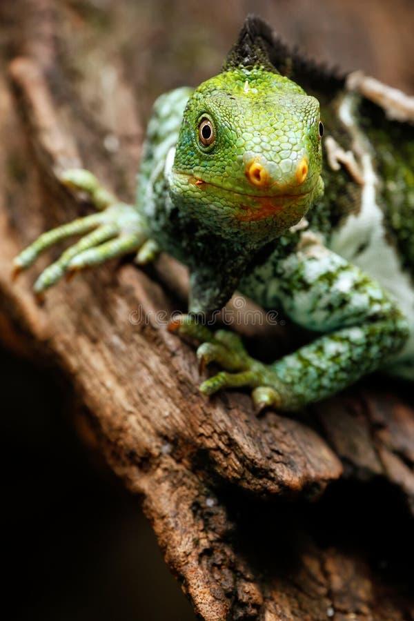 Il ritratto del Fijian crested il vitiensis di Brachylophus dell'iguana su Vi fotografie stock libere da diritti