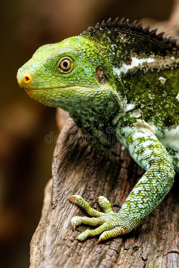 Il ritratto del Fijian crested il vitiensis di Brachylophus dell'iguana su Vi immagini stock libere da diritti