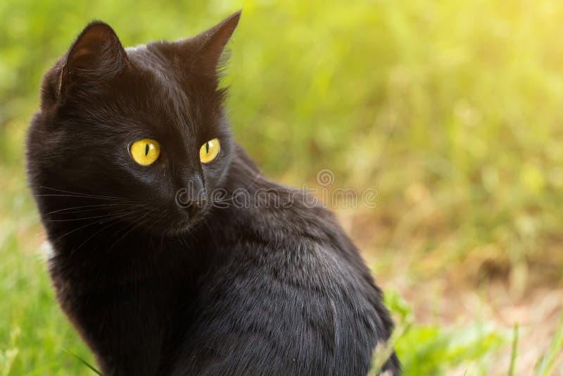 Il ritratto del gatto nero di Bombay nel profilo con giallo osserva all'aperto in natura immagini stock