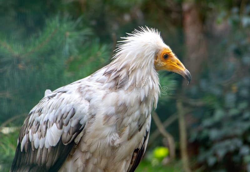 Il ritratto del percnopterus del Neophron dell'avvoltoio egiziano fotografia stock libera da diritti