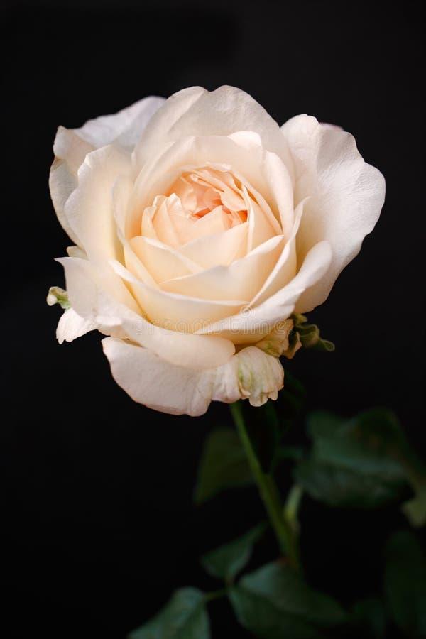 Il ritratto dell'albicocca pastello colorato è aumentato fiore sui precedenti neri fotografie stock libere da diritti