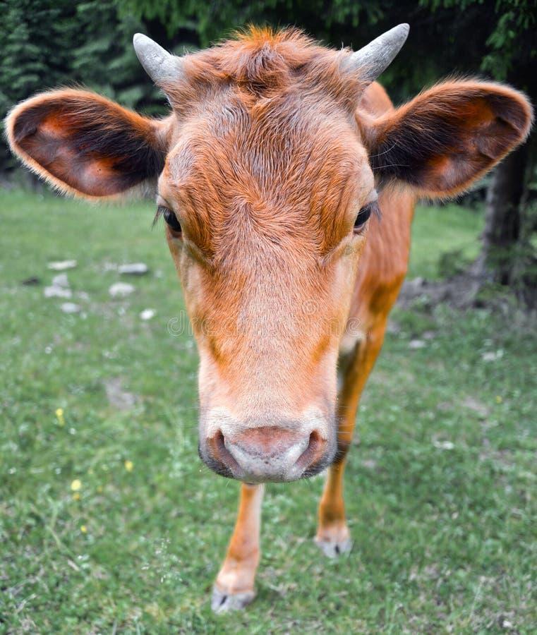 Il ritratto della mucca sui precedenti del campo Bella mucca divertente sull'azienda agricola della mucca Giovane vitello marrone immagini stock