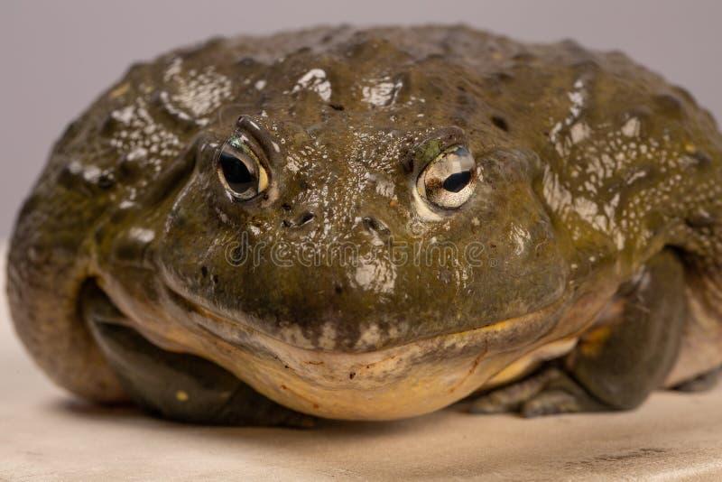 Il ritratto della rana toro africana Macro rospo immagini stock libere da diritti