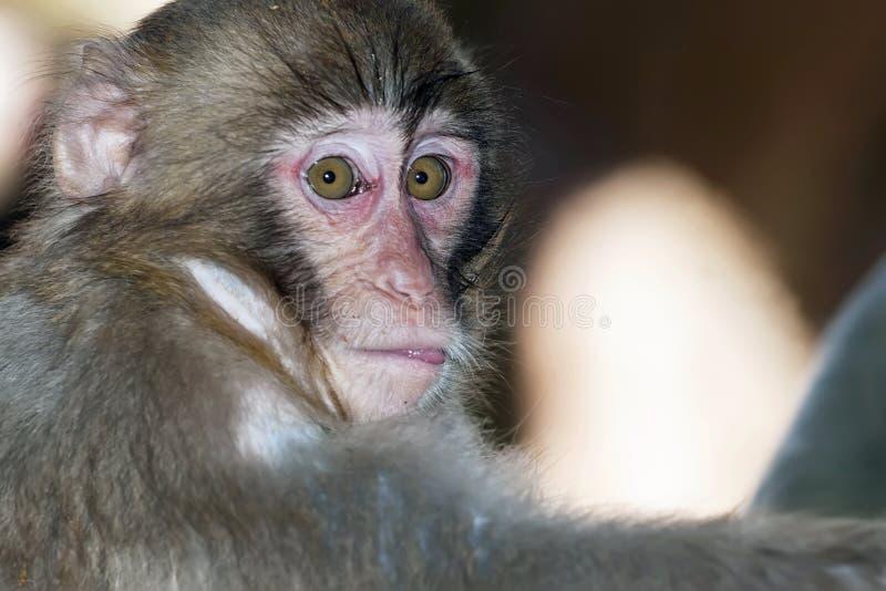 Il ritratto della scimmia triste con giallo luminoso osserva lo sguardo in camera fotografie stock libere da diritti
