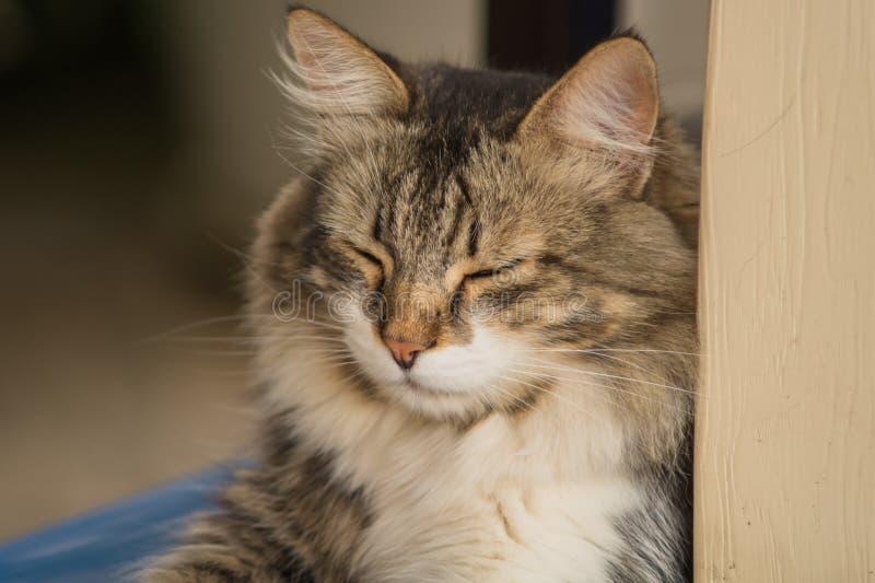 Il ritratto di bello gatto a strisce grigio che si trova pigro con i suoi occhi si è chiuso immagine stock libera da diritti