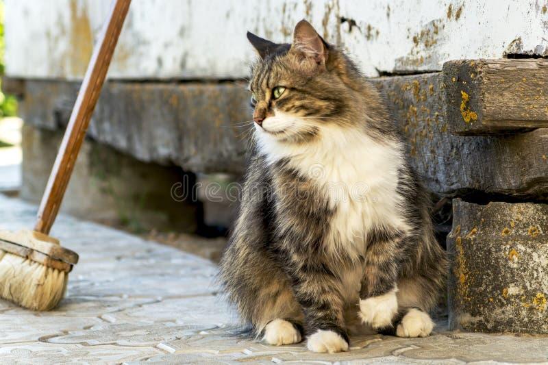 Il ritratto di bello gatto di tricromia con con gli occhi verdi e la pelliccia lunga che si siedono sulle mattonelle su un contes fotografie stock libere da diritti