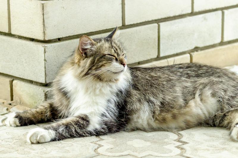 Il ritratto di bello gatto di tricromia con le bugie lunghe della pelliccia sulle mattonelle e i relaxs con gli occhi chiusi fine fotografia stock libera da diritti