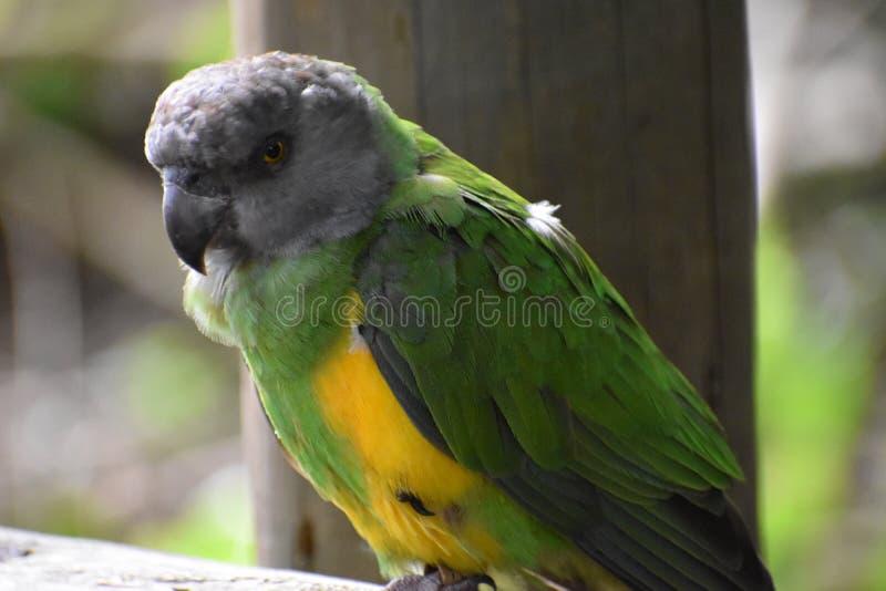Il ritratto di Brown ha diretto il pappagallo nel Sudafrica fotografia stock