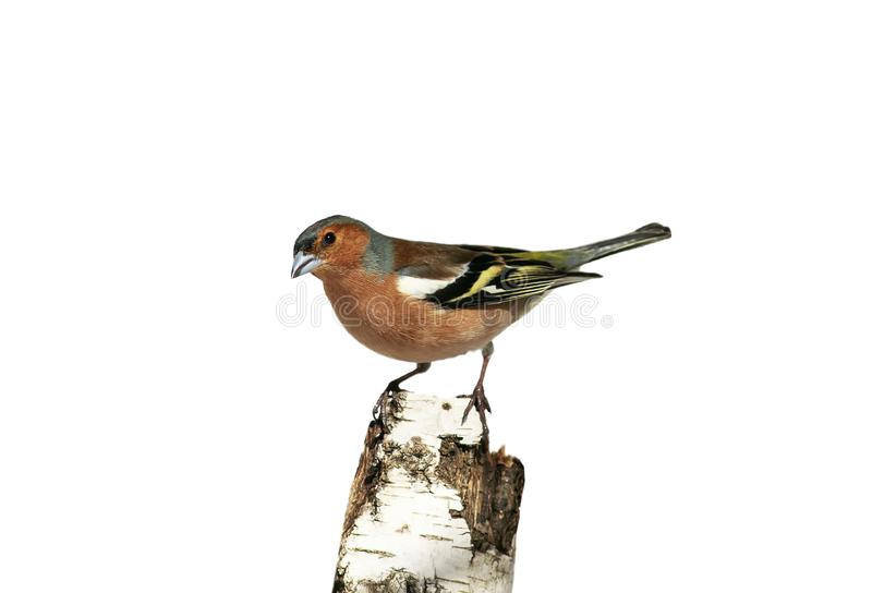 Il ritratto di piccolo fringillide dell'uccello canoro sta su un albero di betulla su un fondo isolato bianco fotografia stock libera da diritti