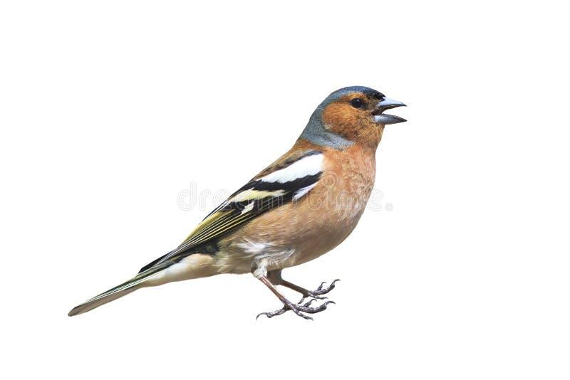 Il ritratto di piccolo fringillide maschio dell'uccello canoro sta e canta su un fondo isolato bianco fotografia stock libera da diritti