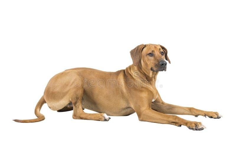Il ritratto di un cane di Rhodesian Ridgeback isolato su uno studio bianco del fondo ha sparato riposarsi i modi laterali immagine stock libera da diritti
