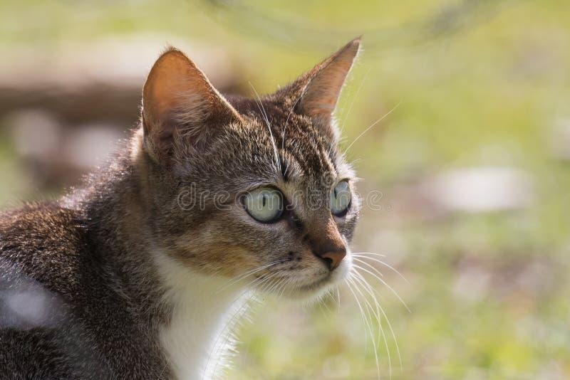 Il ritratto di un gatto selvaggio con suspicios fissa fotografia stock