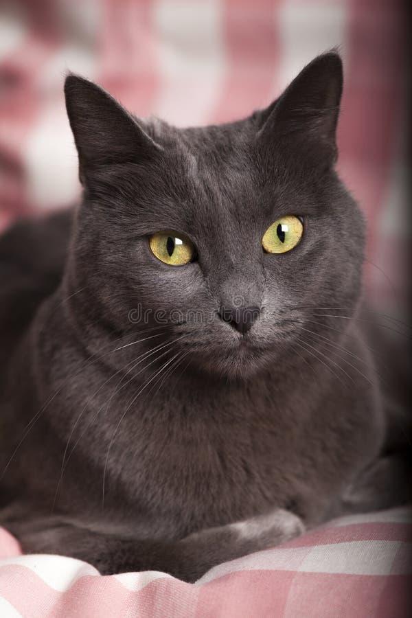 Il ritratto di un giallo russo blu femminile osserva/gatto carthusian immagini stock