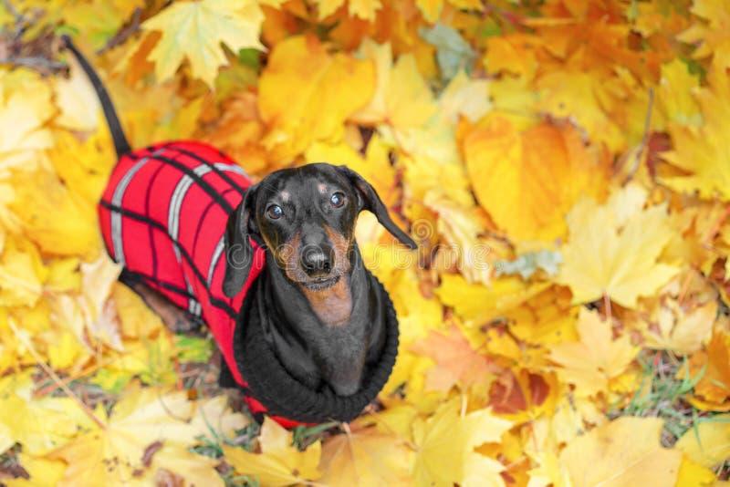 Il ritratto di vista superiore di un cane del bassotto tedesco, neri e si abbronzano, in un maglione rosso sta sulla terra piena  fotografie stock