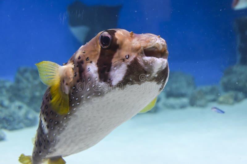 Il ritratto esotico del iglobruh del pesce nuota in un acquario su fondo blu fotografia stock libera da diritti