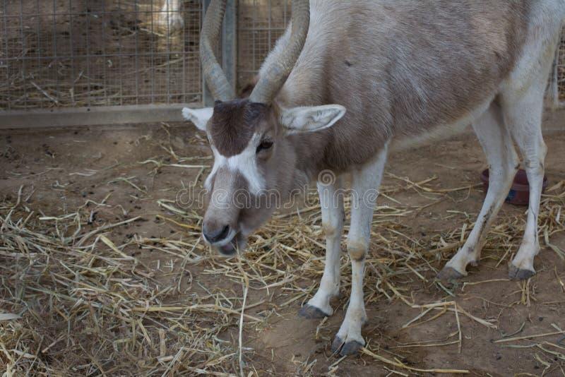 Il ritratto per il addax, anche conosciuto come l'antilope bianca e l'antilope dello screwhorn, è un'antilope del genere Addax, q immagine stock