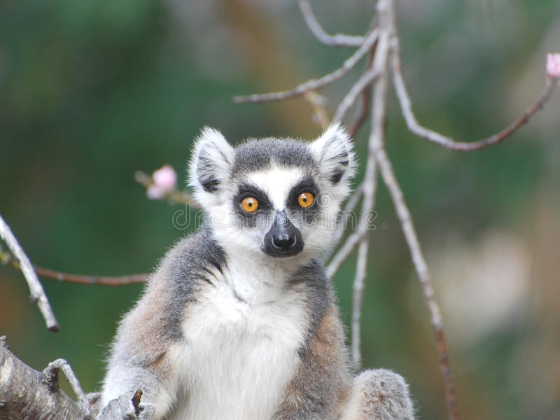 Il ritratto Ring Tailed Lemur guarda direttamente in lente - Madagascar fotografia stock