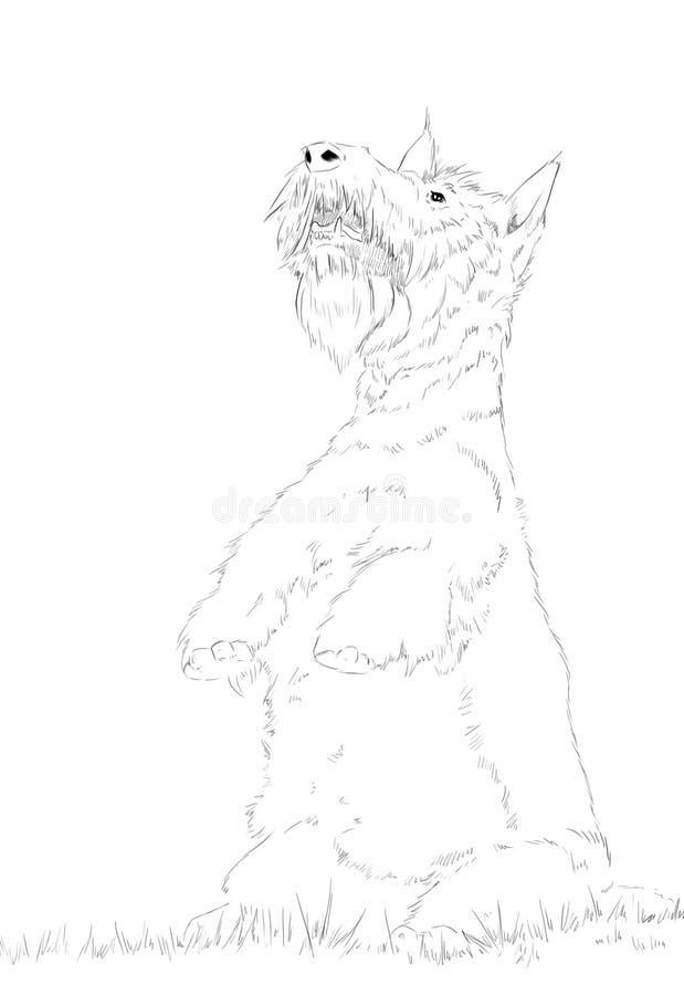 Il ritratto scozzese di Terrier fotografia stock libera da diritti