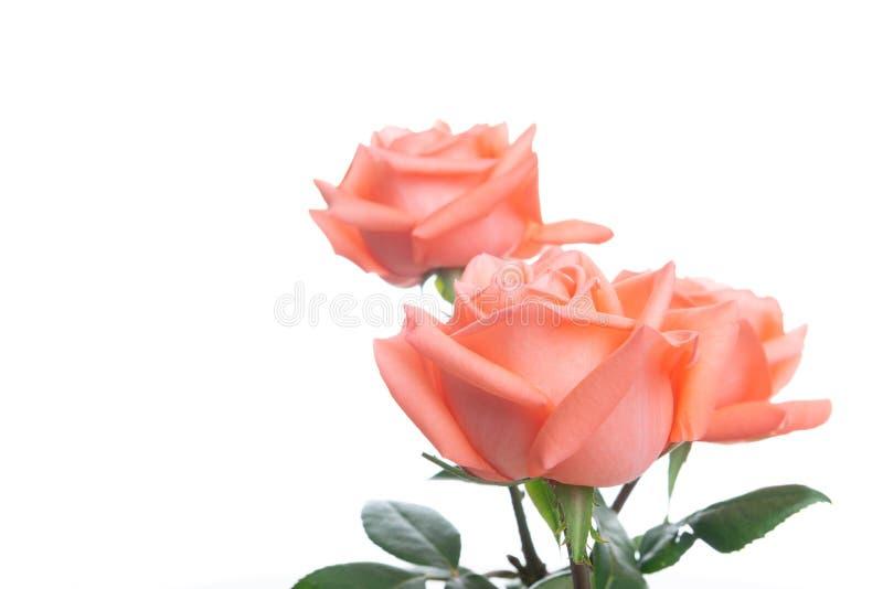 Il rosa è aumentato con lo spazio della copia - selezioni focale immagini stock
