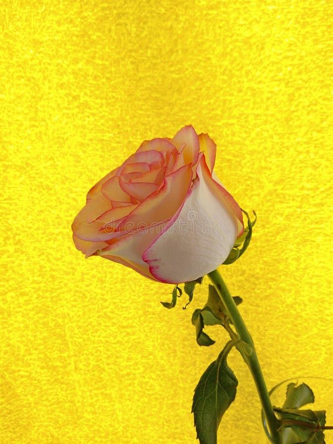 Il rosa è aumentato su un fondo strutturato giallo come simbolo delle sensibilità dell'offerta e di amore fotografie stock