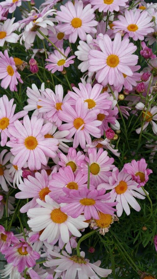 Il rosa bianco del fiore fotografia stock