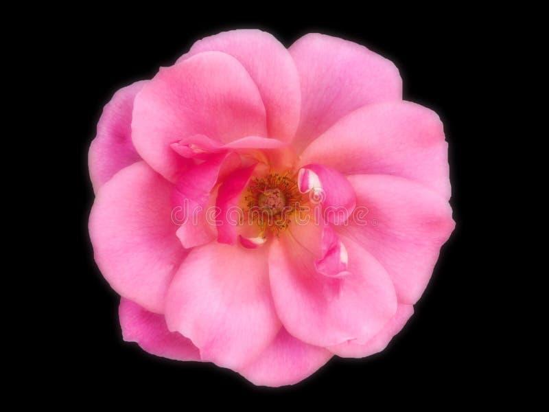 Il rosa completamente aperto ? aumentato immagini stock