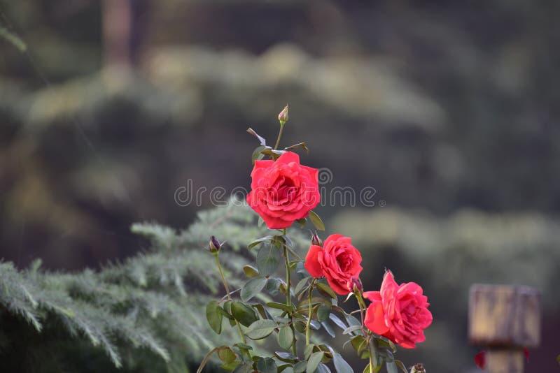 Il ` rosa del fiore del ` nel parco di autunno fotografia stock libera da diritti