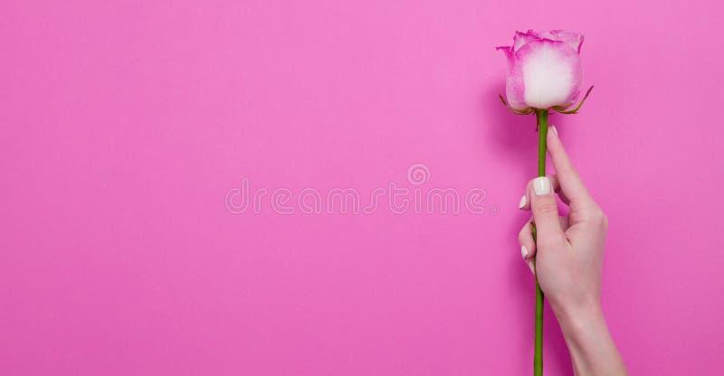 Il rosa Rosa della tenuta della mano della donna ha isolato Feste di giorno delle donne e della madre I fiori della primavera e d fotografie stock libere da diritti