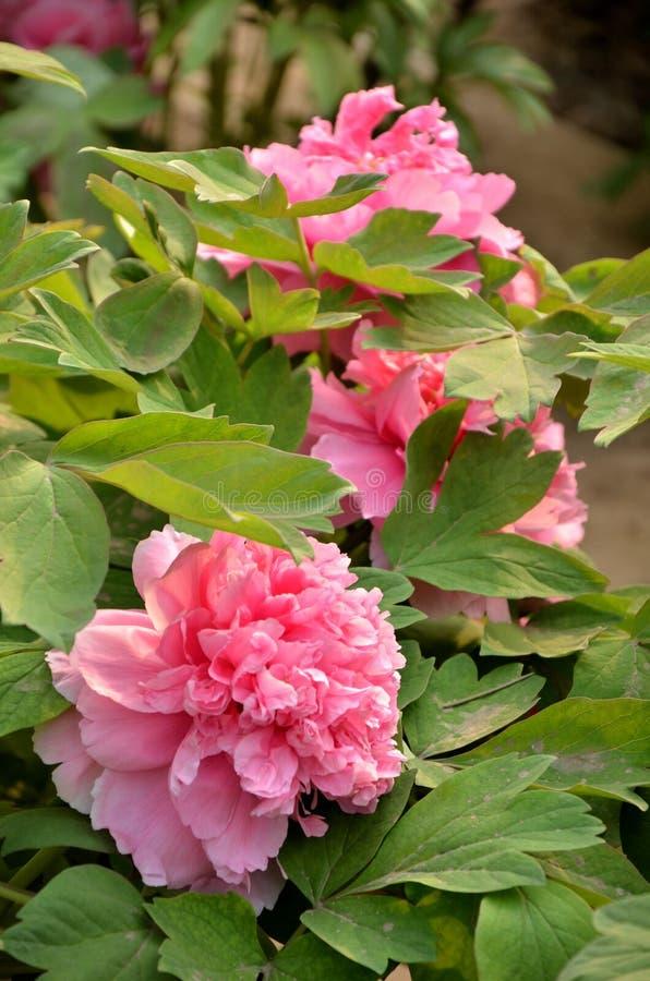 Il rosa ha letto la peonia fotografia stock