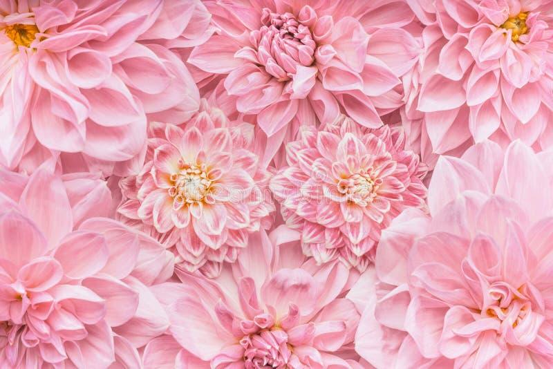 Il rosa pastello fiorisce il fondo, la vista superiore, la disposizione o la cartolina d'auguri per il giorno di madri, le nozze  fotografie stock