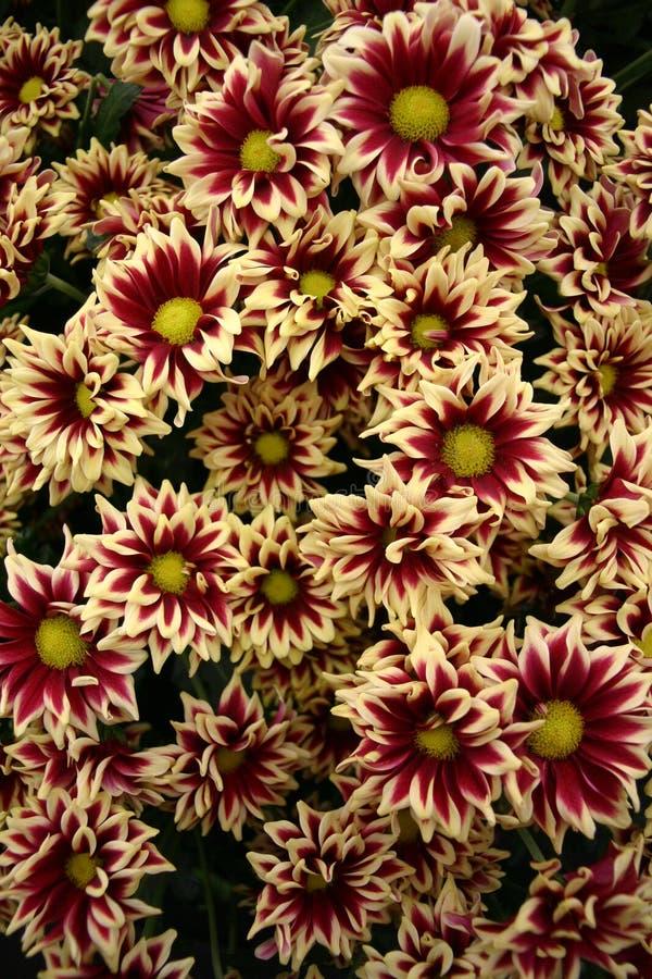 Il rosso e la crema hanno orlato i fiori immagini stock