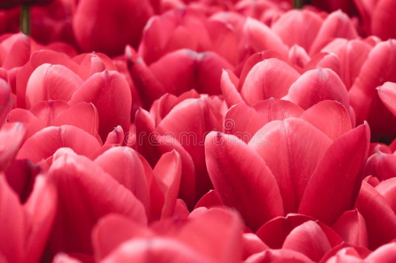Il rosso fiorisce il fondo immagini stock libere da diritti