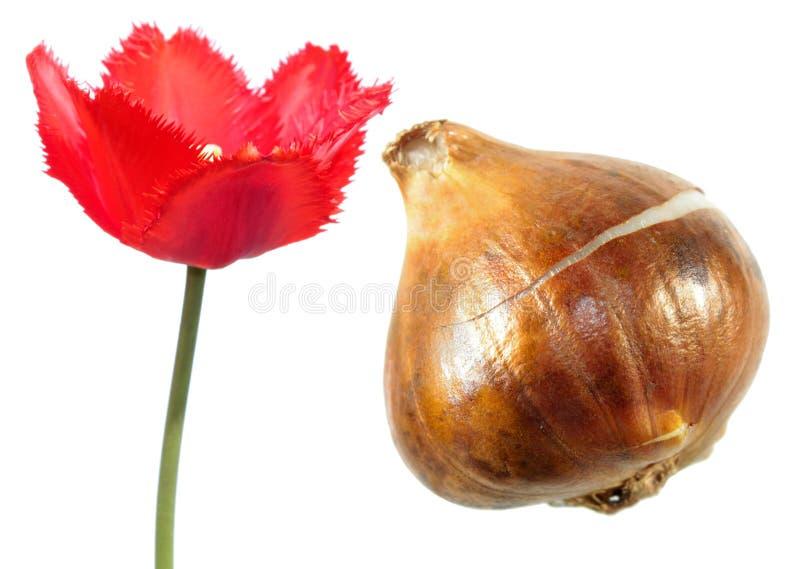 Il rosso ha guarnito il fiore di frange del tulipano con la lampadina del tulipano isolata su bianco fotografie stock libere da diritti