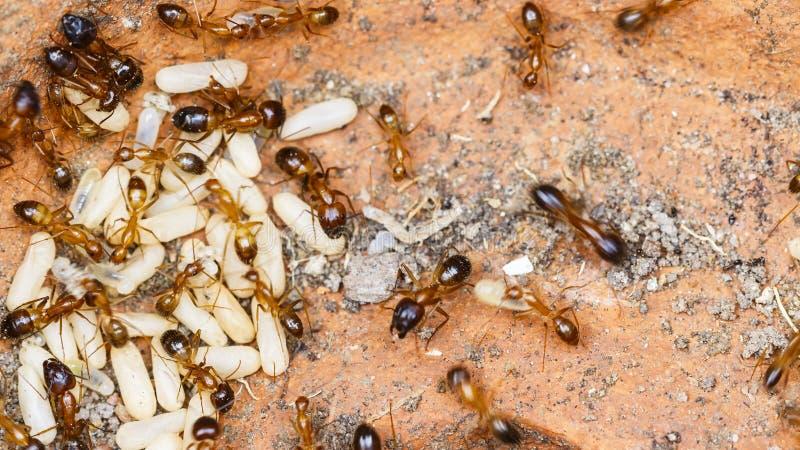 Il rosso ha importato il solenopsis invicta delle formiche di fuoco o semplicemente la presa di RIFA fotografie stock