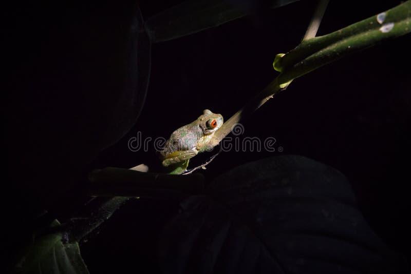 Il rosso ha osservato la rana in un ramo alla notte nella foresta della nuvola di Monteverde fotografia stock libera da diritti