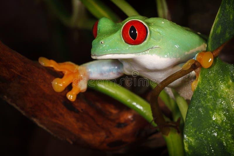 Il rosso piacevole ha osservato la rana di albero fra le piante fotografie stock