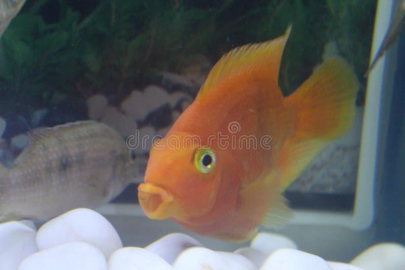 Il rosso preso pesce pappagallo rosso sangue ha passato mentre sbadigliava immagine stock