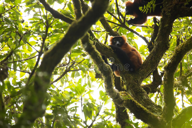 Il rosso ruffed le lemure, rubra di Varecia nel parco nazionale di Masoala, Madagascar immagine stock libera da diritti