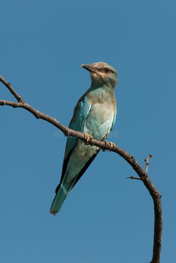 Il rullo europeo si è appollaiato su un ramo con cielo blu fotografie stock libere da diritti