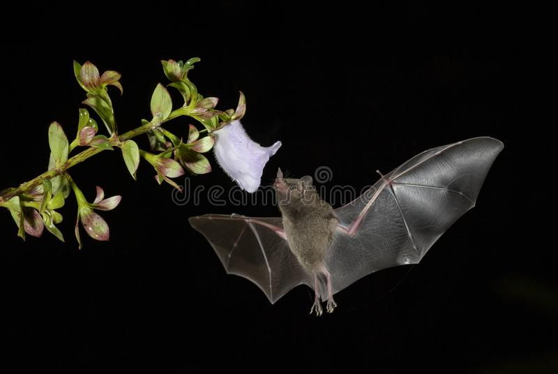 Il ` s di Pallas A lungo tongued il pipistrello - soricina di Glossophaga fotografia stock libera da diritti
