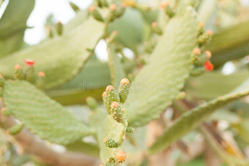 Il sabra selvaggio di opuntia ficus indica del cactus dei cespugli si è acceso dal sole fotografia stock libera da diritti