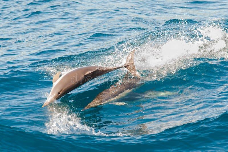 Il salto dei delfini fotografie stock libere da diritti