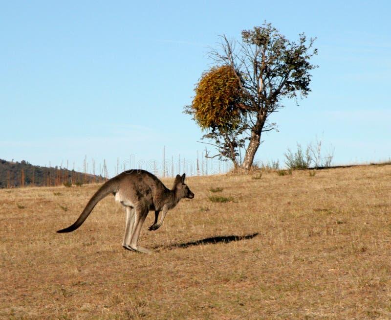 Il salto del canguro fotografia stock