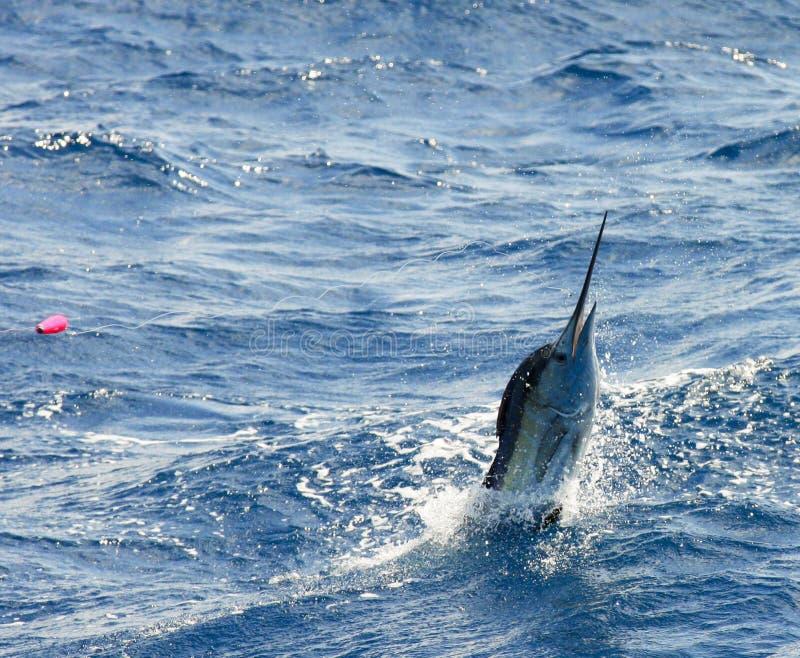 Il salto del pesce vela del Pacifico fotografia stock libera da diritti