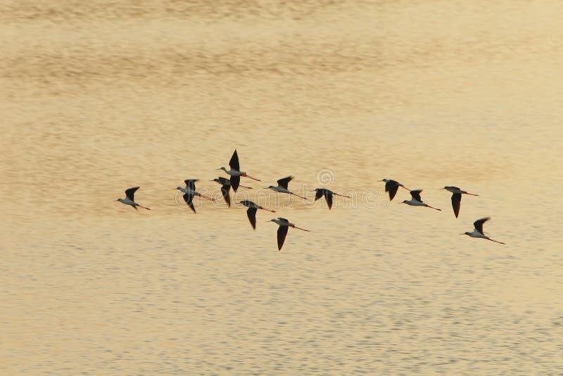 Il Sandpiper si affolla il volo fotografia stock libera da diritti