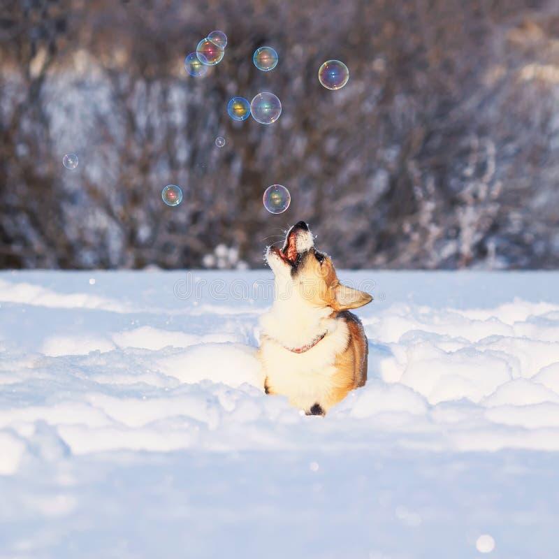 il sapone rosso del fermo del Corgi del cucciolo bolle bello divertimento che salta nella neve bianca nel parco dell'inverno immagini stock libere da diritti