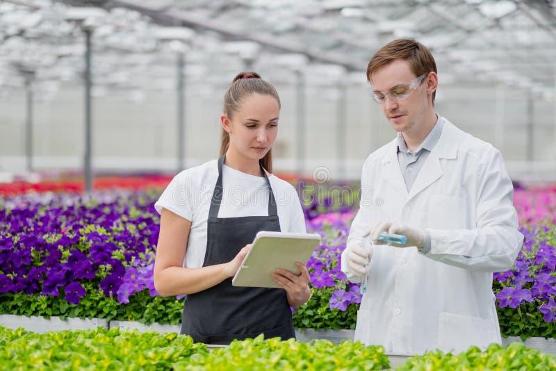 Il selezionatore dell'agronomo di due scienziati, un uomo e una donna, prelevano i campioni nella serra immagine stock