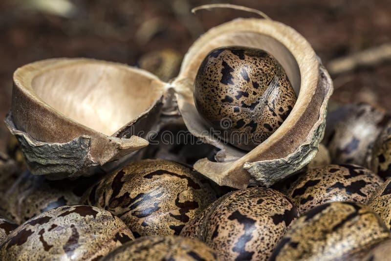 Il seme dell'albero di gomma sulla corteccia su altri semi dell'albero di gomma, hevea brasiliensis semina la foto del primo pian fotografie stock