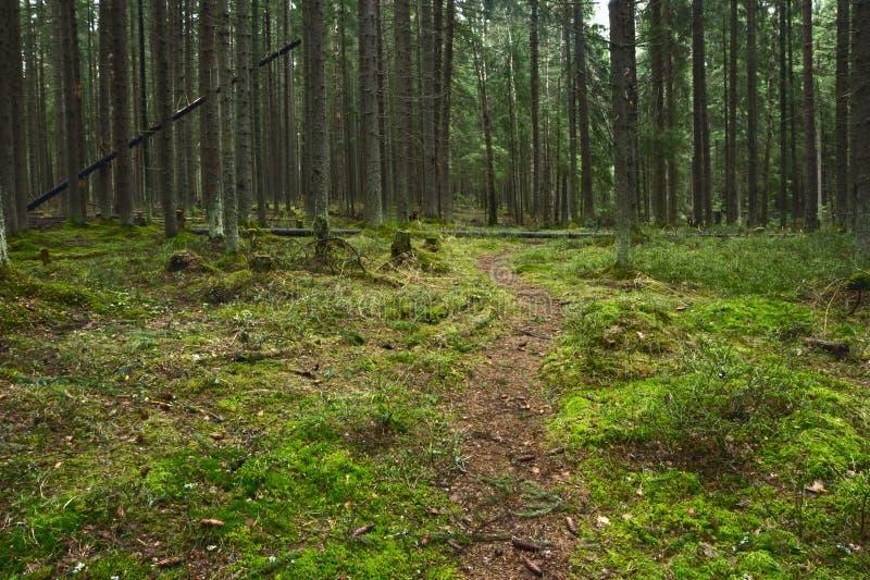 Il sentiero per pedoni entra in profondità in foresta attillata dopo gli alberi della canapa e gli alberi alti fotografia stock